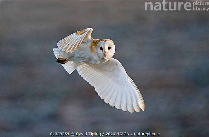 Barn Owl (Tyto alba) female hunting over grazing marsh, Burnham Overy, Norfolk, UK, February. Did you know? During flight, the left ear of the barn owl captures sounds below while the right ear focuses on sounds from above., 2020VISION,BIRDS,BIRDS OF PREY,ENGLAND,EUROPE,FEMALES,FLYING,looking at camera,OWLS,picday,Tytonidae,UK,VERTEBRATES,WETLANDS,United Kingdom,Raptor, David Tipling / 2020VISION
