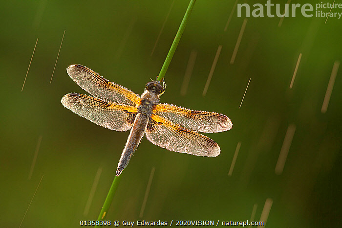 Four-spotted chaser dragonfly (Libellula quadrimaculata) in rain, Westhay SWT reserve, Somerset Levels, England, UK, June. Photographer quote: 'Photographing in wet conditions can often result in interesting and atmospheric images, as was the case with this four-spotted chaser dragonfly on the Somerset Levels.' Did you know? Westhay National Nature Reserve is the cornerstone of the Brue Valley Living Landscape Project, an initiative to transform a landscape into a vibrant ecosystem which is good for both wildlife and people.  2020VISION Exhibition. 2020VISION Book Plate., 2020VISION,2020vision book plate,2020vision exhibition,ARTHROPODS,Chaser,DRAGONFLIES,ENGLAND,EUROPE,exhibition,INSECTS,INVERTEBRATES,levels,ODONATA,picday,RAIN,RAINING,RESERVE,Somerset,UK,WATER,wet,WETLANDS,Weather,United Kingdom,2020cc, Guy Edwardes / 2020VISION
