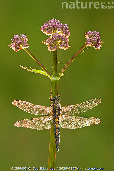 Black-tailed skimmer dragonfly (Orthetrum cancellatum), Westhay SWT reserve, Somerset Levels, England, UK, 2020VISION,ARTHROPODS,ARTY SHOTS,BACKLIT,DEW,DRAGONFLIES,ENGLAND,EUROPE,FLOWERS,INSECTS,INVERTEBRATES,LEVELS,ODONATA,PLANTS,SOMERSET,UK,VERTICAL,WETLANDS,United Kingdom,2020cc,,Beauty in nature,,,beauty in nature,, Guy Edwardes / 2020VISION