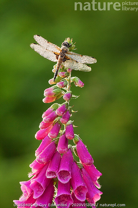 Four-spotted chaser dragonfly (Libellula quadrimaculata) on Foxglove flowers, Westhay SWT reserve, Somerset Levels, England, UK, June, 2020VISION,ARTHROPODS,CHASER,DEW,DRAGONFLIES,DROPLETS,ENGLAND,EUROPE,FLOWERS,INSECTS,INVERTEBRATES,LEVELS,ODONATA,PURPLE,RESERVE,SOMERSET,UK,VERTICAL,WATER,WET,WETLANDS,United Kingdom,2020cc, Guy Edwardes / 2020VISION
