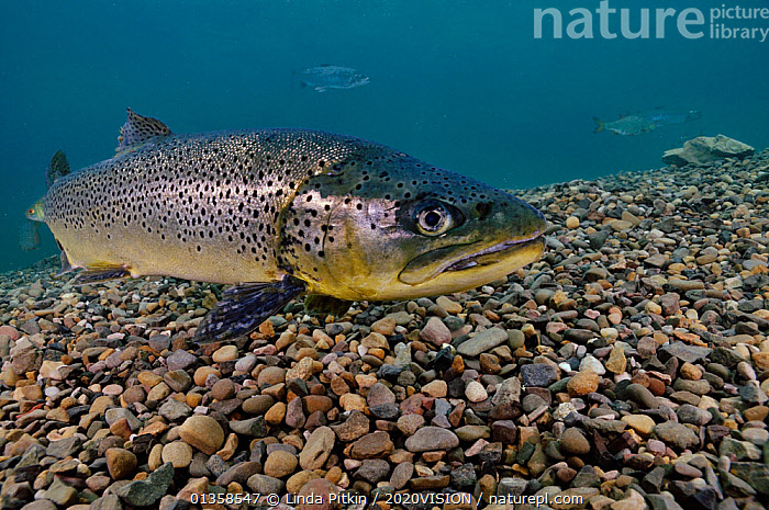 Brown Trout (Salmo trutta) in disused quarry, Jackdaw Quarry, Capernwray, Carnforth, Lancashire, UK, August  ,  2020VISION,BLUE,ENGLAND,EUROPE,FISH,FRESHWATER,LAKES,OSTEICHTHYES,PEBBLES,PORTRAITS,RIVERS,RIVER TROUT,TEMPERATE,TROUT,UK,UNDERWATER,VERTEBRATES,United Kingdom,2020cc  ,  Linda Pitkin / 2020VISION