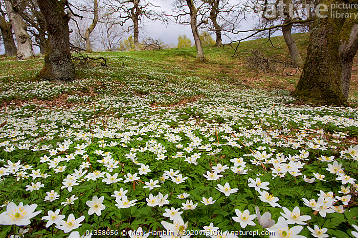 Wood anemones (Anemone nemorosa) growing in profusion on woodland floor, Scotland, UK, May 2010. Photographer quote: 'Driving home for the dentist I saw the most amazing display of wood anemones. It was like a sprinkling of snow across the woodland floor. Three hours later I was still totally absorbed in photography.' Did you know? The scent of wood anemone is not as attractive as they look and they are also known as 'smell fox' because of the musky aroma of their leaves.  ,  2020VISION,Anemone,BROADLEAF,DICOTYLEDONS,EUROPE,FLOWERS,FORESTS,HABITAT,LANDSCAPES,mass,multitude,picday,PLANTS,RANUNCULACEAE,SCOTLAND,SPRING,UK,WHITE,WOODLANDS,United Kingdom  ,  Mark Hamblin / 2020VISION