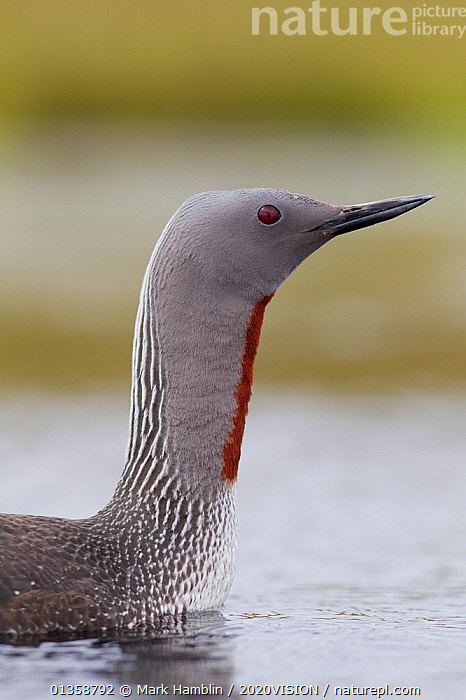 Red-throated diver (Gavia stellata) adult on breeding loch, Flow Country, Highland, Scotland, UK, June,  ,  2020VISION,ADULT,BIRDS,BOGS,CLOSE UP,DIVERS,EUROPE,LAKES,LOON,LOONS,PEAT,PEATLANDS,PORTRAITS,PROFILE,RESERVE,SCOTLAND,SPRING,UK,VERTEBRATES,VERTICAL,WATER,WATERFOWL,WETLANDS,United Kingdom,2020cc  ,  Mark Hamblin / 2020VISION