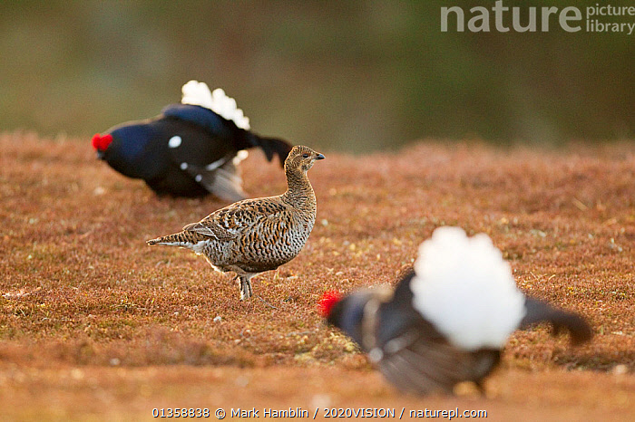 Black grouse (Tetrao tetrix) female at lek on heather moorland with two males displaying nearby, Cairngorms NP, Grampian, Scotland, UK, April  ,  2020VISION,BIRDS,BLACKCOCK,COURTSHIP,DAWN,EUROPE,FEMALES,GALLIFORMES,GAME BIRDS,GROUSE,HIGHLANDS,HILLS,MALE FEMALE PAIR,MATING BEHAVIOUR,MOORLAND,NP,PHASIANIDAE,RESERVE,SCOTLAND,UK,UPLANDS,VERTEBRATES,National Park,United Kingdom,2020cc  ,  Mark Hamblin / 2020VISION