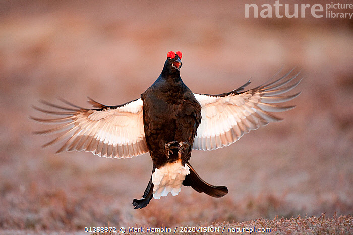 Black grouse (Tetrao tetrix) males displaying flutter jump at lek, Cairngorms NP, Grampian, Scotland, UK, April. Did you know? Adult grouse are mostly vegetarian, but their young primarily eat insects.  ,  2020VISION,BEHAVIOUR,BIRDS,BLACKCOCK,COURTSHIP,DAWN,DISPLAY,EUROPE,GALLIFORMES,GAME BIRDS,GROUSE,HIGHLANDS,picday,HILLS,HUMOROUS,JUMPING,MALES,MATING BEHAVIOUR,MOORLAND,NP,PHASIANIDAE,RESERVE,SCOTLAND,UK,UPLANDS,VERTEBRATES,VOCALISATION,Communication,Concepts,National Park,United Kingdom,2020cc  ,  Mark Hamblin / 2020VISION