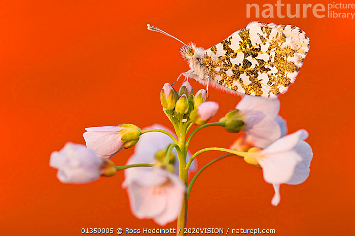 RF- Orange Tip butterfly (Anthocharis cardamines) female resting on Cuckooflower (Cardamine pratensis). North Devon, UK. April. (This image may be licensed either as rights managed or royalty free.), 2020VISION,ARTHROPODS,BUTTERFLIES,CUTOUT,ENGLAND,EUROPE,FEMALES,FLOWERS,INSECTS,INVERTEBRATES,LEPIDOPTERA,PLANTS,SPRING,UK,WETLANDS RF16Q4,ANTHOCHARIS CARDAMINES,Plant,Vascular plant,Flowering plant,Rosid,Crucifer,Bittercress,Cuckoo flower,Animal,Arthropod,Insect,Butterfly,Orangetip,Orange tip,Plantae,Plant,Tracheophyta,Vascular plant,Magnoliopsida,Flowering plant,Angiosperm,Seed plant,Spermatophyte,Spermatophytina,Angiospermae,Brassicales,Rosid,Dicot,Dicotyledon,Rosanae,Brassicaceae,Crucifer,Cabbage family,Mustard,Mustard flower,Cruciferae,Cardamine,Bittercress,Bitter cress,Cardamine pratensis,Cuckoo flower,Lady's Smock,Cardamine acaulis,Cardamine buchtormensis,Cardamine palustris,Animalia,Animal,Wildlife,Hexapoda,Arthropod,Invertebrate,Hexapod,Arthropoda,Insecta,Insect,Lepidoptera,Lepidopterans,Pieridae,Butterfly,Papilionoidea,Anthocharis,Orangetip,Anthocharis cardamines,Orange tip,Papilio cardamines,Resting,Rest,Colour,White,Nobody,Vibrant Colour,Pattern,Europe,Western Europe,UK,Great Britain,England,Devon,Coloured Background,Copy Space,Profile,Close Up,Side View,Female animal,Flower,Wing,Day,Nature,Wild,Negative space,Animal marking,Flowerhead,Orange Background,RF,Royalty free,RFCAT1,RF16Q4,, Ross  Hoddinott / 2020VISION