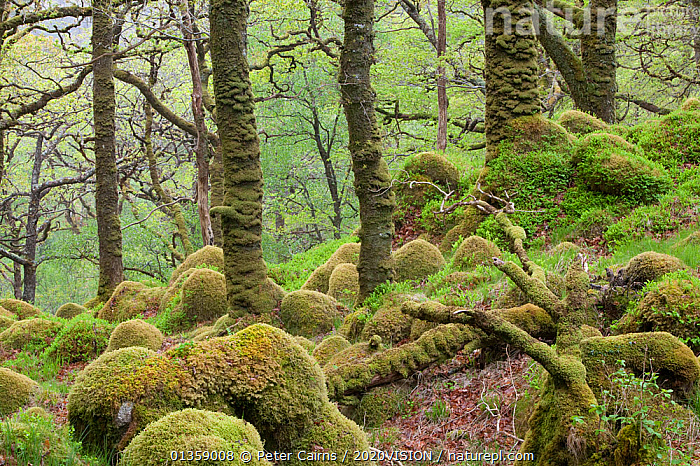 Oak woodland in spring with moss covered glacial rocks, Sunart Oakwoods, Ardnamurchan, Highland, Scotland, UK, May  ,  2020VISION,BRANCHES,BROADLEAF,CALEDONIAN PINEWOODS,DECIDUOUS,EUROPE,FORESTS,GREEN,HABITAT,HIGHLANDS,MOSS,MOSSES,NATIVE,ROCKS,SCOTLAND,SPRING,TREES,UK,WOODLANDS,PLANTS,United Kingdom,2020cc  ,  Peter Cairns / 2020VISION