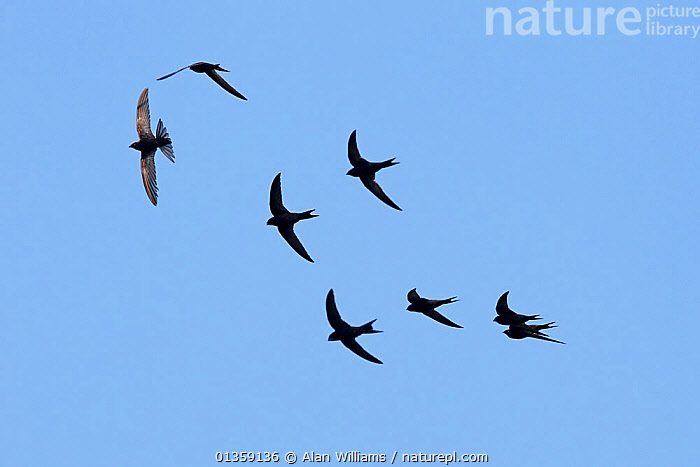Common swifts (Apus apus) in flight, Merseyside, Wirral, UK, July, BIRDS,CUTOUT,EIGHT,EUROPE,FLYING,GROUPS,SILHOUETTES,SWIFTS,UK,VERTEBRATES,United Kingdom, Alan Williams