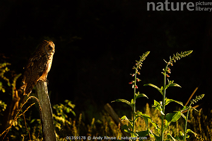 Long Eared Owl (Asio otus) perched in low sunlight. Controlled conditions. UK, Europe, May.  ,  ATMOSPHERIC,BIRDS,BIRDS OF PREY,copyspace,EUROPE,OWLS,STRIGIDAE,UK,VERTEBRATES,WALES,United Kingdom,Raptor  ,  Andy Rouse