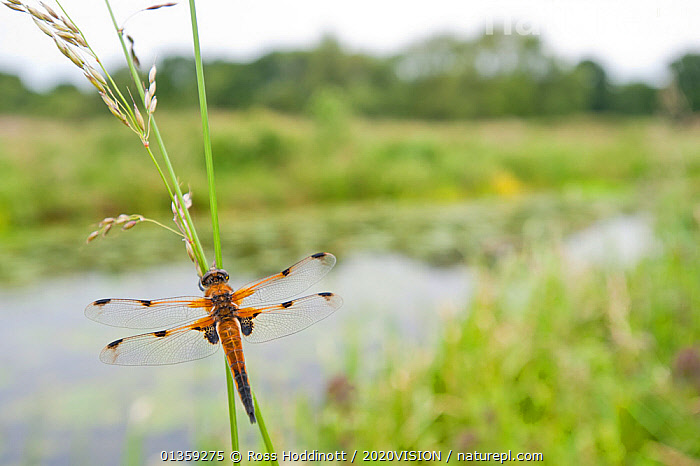 Four-spotted chaser {Libellula quadrimaculata} dragonfly resting on grass in wetland habitat, Shapwick Nature Reserve, Somerset Levels, UK. June 2011. 2020VISION Book Plate., 2020VISION,2020vision book plate,ARTHROPODS,Chaser,DRAGONFLIES,ENGLAND,EUROPE,HABITAT,INSECTS,INVERTEBRATES,LANDSCAPES,ODONATA,RESERVE,RIVERS,somerset levels,UK,WATER,WETLANDS,United Kingdom,2020cc, Ross Hoddinott / 2020VISION