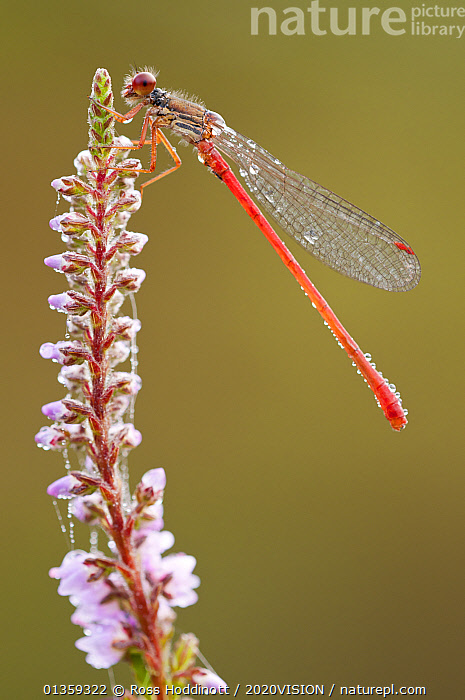 Small red damselfly {Ceriagrion tenellum} resting on willow herb flower spike, covered in morning dew, Arne (RSPB) Nature Reserve, Dorset, UK. August, 2020VISION,AQUATIC,ARTHROPODS,DAMSELFLIES,DROPLETS,ENGLAND,EUROPE,FLOWERS,HEATHLAND,INSECTS,INVERTEBRATES,ODONATA,PLANTS,RED,RESERVE,UK,VERTICAL,WATER,WET,WETLANDS,United Kingdom,2020cc, Ross Hoddinott / 2020VISION