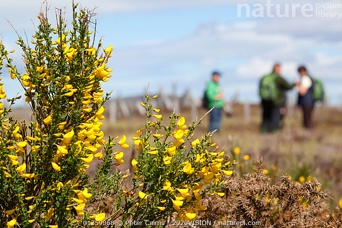 Family on nature walk at RSPB Forsinard Flows with flowering gorse bush in the foreground, Flow country, Caithness, Highland, Scotland, UK, June 2011  ,  2020VISION,BOGS,CLOUDS,EUROPE,FLOWERS,HIGHLANDS,HIKER,HIKING,LANDSCAPES,OUTDOORS,PEAT,PEATLAND RESTORATION,PEATLANDS,PEOPLE,RESERVE,RSPB,SCOTLAND,SKY,SUMMER,THREE,UK,WALKING,WETLANDS,YELLOW,Weather,United Kingdom,2020cc  ,  Peter Cairns / 2020VISION