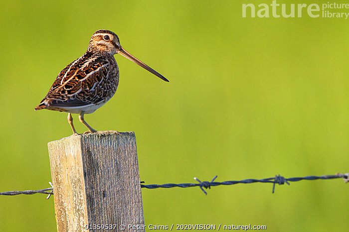 Snipe (Gallinago gallinago) perched on fencepost, RSPB Balranald nature reserve, North Uist, Western Isles / Outer Hebrides, Scotland, UK, May. Did you know? The tip of a snipe�s beak contains nerve endings, so it can feel for worms underground  ,  2020VISION,BIRDS,COASTS,EUROPE,MACHAIR,SCOTLAND,SNIPE,UK,VERTEBRATES,WADERS,United Kingdom,2020cc  ,  Peter Cairns / 2020VISION