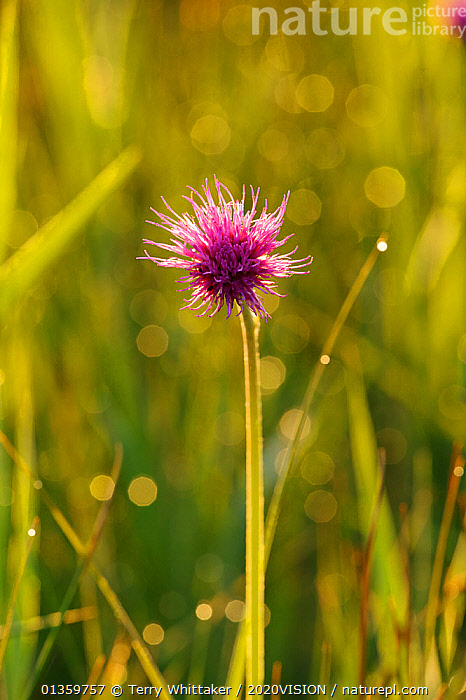Marsh Thistle (Cirsium palustre) flowering on managed grazing land, Wicken Fen, Cambridgeshire, UK, June, 2020VISION,ASTERACEAE,EAST ANGLIAN FENS,ENGLAND,EUROPE,FENLAND,FENLANDS,FENS,FLOWERS,PLANTS,RESERVE,THISTLES,UK,VERTICAL,WETLANDS,United Kingdom, Terry Whittaker / 2020VISION