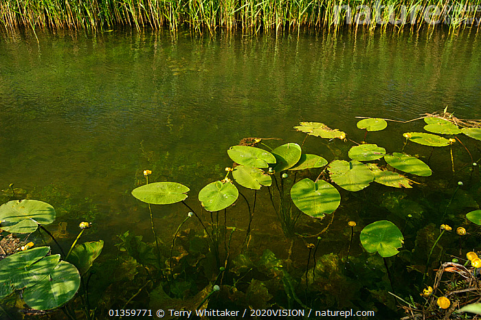Waterlilies flowering, Wicken Fen, Cambridgeshire, UK, June, 2020VISION,AQUATIC,EAST ANGLIAN FENS,ENGLAND,EUROPE,FENLAND,FENLANDS,FENS,FRESHWATER,LEAVES,LILYPADS,PLANTS,RESERVE,SUMMER,UK,WATER,WATERLILIES,WETLANDS,United Kingdom, Terry Whittaker / 2020VISION