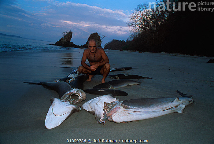Man looking at dead sharks, previously finned alive and thrown overboard, washed up on beach. Costa Rica, Pacific Ocean. Model released., BEACHES,CENTRAL AMERICA,CHONDRICHTHYES,COCOS ISLAND,COMMERCIAL,COSTA RICA,CRUELTY,DEATH,ENVIRONMENTAL,FISH,HORRIFIC,MARINE,OUTOORS,PEOPLE,SHARKS,TROPICAL,VERTEBRATES,WASTE,CENTRAL-AMERICA, Jeff Rotman