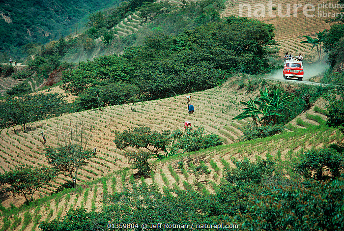Coca farmers tending to coca fields. Yungas, Bolivia., BOLIVIA,COCA,COCAINE,COKE,COMMERCIAL,DRUG,DRUGS,FARMING,FIELDS,ILLEGAL,LANDSCAPES,NARCOTICS,SOUTH AMERICA,TRADE,VEHICLES, Jeff Rotman