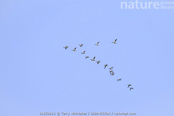 Flock of Shelduck (Tadorna tadorna) in flight in formation, South Swale, Kent, UK, November, 2020VISION,BIRDS,COASTS,DUCKS,ENGLAND,EUROPE,FLYING,GREATER THAMES FUTURESCAPES,HIGH ANGLE SHOT,PATTERNS,RESERVE,UK,URBAN,VERTEBRATES,WATERFOWL,WETLANDS,United Kingdom, Terry Whittaker / 2020VISION