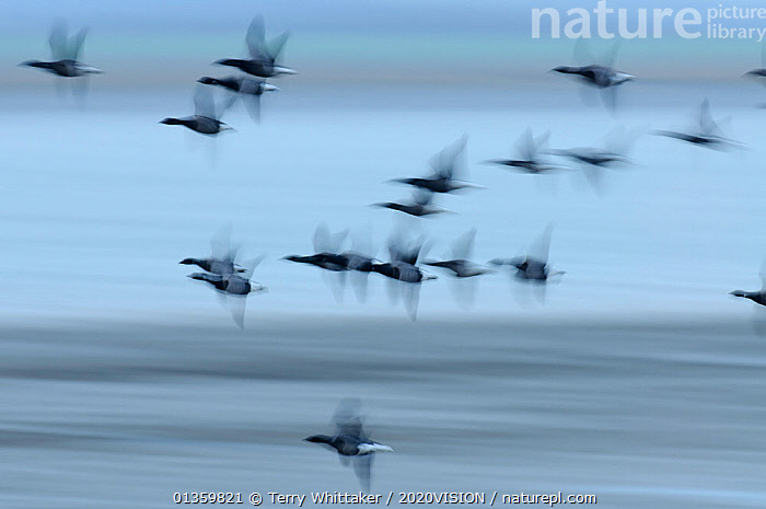 Flock of Dark-bellied brent geese (Branta bernicla bernicla) in flight over mudflats, South Swale NR, Kent, UK, December, 2020VISION,ACTION,ANATIDAE,BIRDS,BLURRED,COASTS,ENGLAND,EUROPE,FLOCKS,FLYING,GEESE,GREATER THAMES FUTURESCAPES,RESERVE,UK,URBAN,VERTEBRATES,WATERFOWL,WETLANDS,United Kingdom, Terry Whittaker / 2020VISION