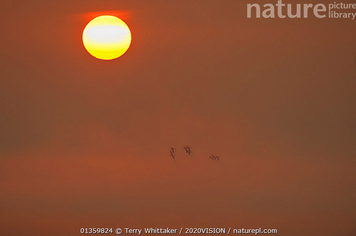 Sun rising at dawn with silhouette of Shelduck (Tadorna tadorna) in flight, Elmley RSPB Reserve, Kent, UK, April, 2020VISION,BIRDS,COASTS,DAWN,DUCK,DUCKS,ENGLAND,EUROPE,FLYING,GREATER THAMES FUTURESCAPES,RESERVE,SUN,SUNRISE,UK,URBAN,WETLANDS,United Kingdom,2020cc, Terry Whittaker / 2020VISION