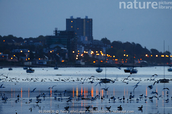 Mixed flock of Dark-bellied brent geese (Branta bernicla) and other waterfowl on mudflats at dawn with town in background, Leigh-on-Sea, Essex, UK, October 2010, BIRDS,BOATS,BUILDINGS,DAWN,EUROPE,HARBOURS,LIGHTS,MIXED SPECIES,REFLECTIONS,SILHOUETTES,TOWNS,UK,WATER,WATERFOWL,ENGLAND,United Kingdom,2020cc, Terry Whittaker / 2020VISION