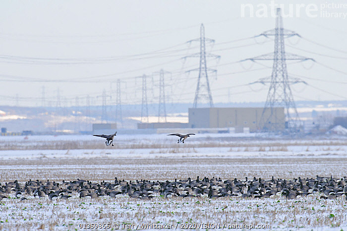 Flock of Dark-bellied brent geese (Branta bernicla bernicla) feeding on frozen crop field with London Array Windfarm onshore substation in the background, Graveney, Kent, UK, December 2010, 2020VISION,ANATIDAE,BIRDS,COASTS,ELECTRICITY,ENERGY,ENGLAND,EUROPE,FLOCKS,GEESE,GREATER THAMES FUTURESCAPES,LANDSCAPES,PYLON,PYLONS,RENEWABLE,RESERVE,SNOW,UK,URBAN,VERTEBRATES,WATERFOWL,WETLANDS,WINTER,United Kingdom, Terry Whittaker / 2020VISION