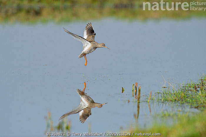 Redshank (Tringa totanus) landing on grazing marsh, North Kent, UK, March, 2020VISION,BEHAVIOUR,BIRDS,COASTS,ENGLAND,EUROPE,FLYING,GREATER THAMES FUTURESCAPES,LANDING,MARSHES,REFLECTIONS,RESERVE,SANDPIPERS,SCOLOPACIDAE,UK,URBAN,VERTEBRATES,WADERS,WATER,WETLANDS,United Kingdom, Terry Whittaker / 2020VISION
