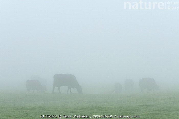 Cattle on conservation grazing land at dawn, Elmley Marshes, Kent, UK, March 2011, 2020VISION,ARTIODACTYLA,ATMOSPHERIC,BOVIDS,CATTLE,COASTS,COW,COWS,ENGLAND,EUROPE,GRAZING,GREATER THAMES FUTURESCAPES,LIVESTOCK,MAMMALS,MARSHES,MIST,RESERVE,UK,URBAN,VERTEBRATES,WETLANDS,United Kingdom, Terry Whittaker / 2020VISION
