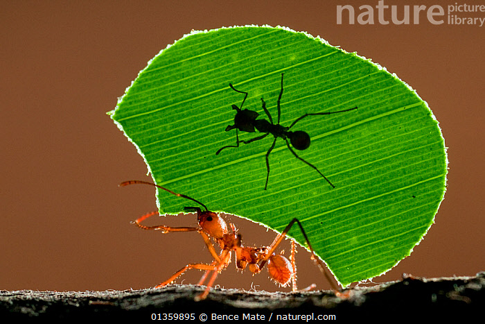 Leaf cutter ant (Atta sp) female worker carrying leaf to nest, with a smaller 'minor' ant riding. The minor's job is to protect her sister from parasitic flies. Costa Rica, December. Highly Commended, 2011 Wildlife Photographer of the Year competition  ,  animal behaviour,ANTS,BEHAVIOUR,CARRYING,catalogue4,CENTRAL AMERICA,close up,costa rica,defense,effort,hitch hiker,Hitch hiking,HYMENOPTERA,INSECTS,INVERTEBRATES,leaf,leafcutter,LEAFCUTTER ANTS,lifting,lookout,mischief,Nobody,on the move,protection,side view,Silhouette,SILHOUETTES,strategy,strength,strong,transportation,two animals,weight,WILDLIFE  ,  Bence Mate