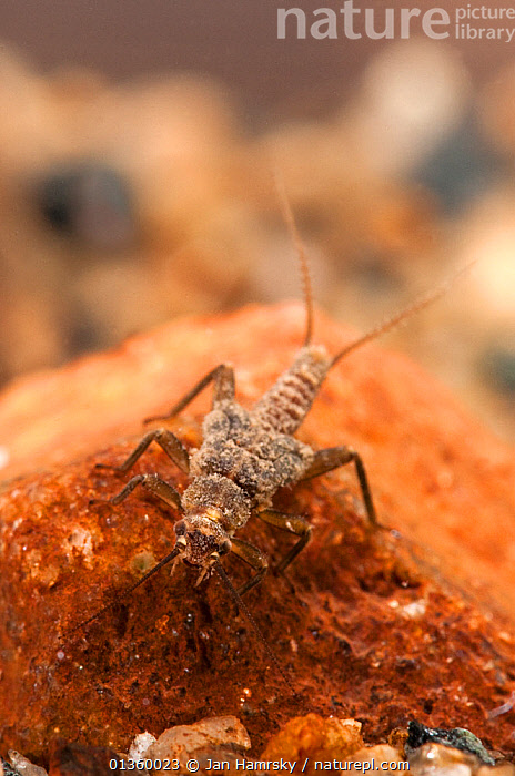Stonefly (Plecoptera) larva. Europe, April., AQUATIC,ARTHROPODS,EUROPE,FRESHWATER,INSECTS,INVERTEBRATES,LARVAE,MACRO,PLECOPTERA,PONDLIFE,STONEFLIES,STREAMLIFE,TEMPERATE,UNDERWATER,VERTICAL, Jan Hamrsky