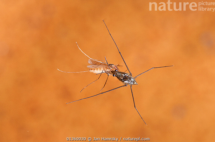 Water Strider / Pond Skater (Gerris lacustris) with mosquito prey. Europe, August., AQUATIC,BEHAVIOUR,BUGS,EUROPE,FEEDING,FRESHWATER,HEMIPTERA,INSECTS,INVERTEBRATES,MACRO,PONDLIFE,POND SKATERS,PREDATION,PREY,STREAMLIFE,TEMPERATE,UNDERWATER, Jan Hamrsky