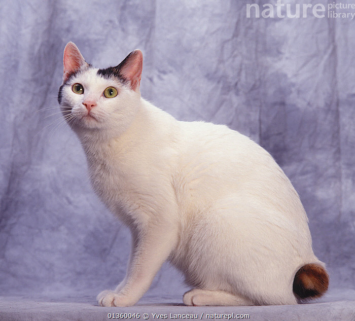 Domestic cat, shorthaired black and white Japanese bobtail, sitting portrait., BLACK,CATS,CUTOUT,FELIDAE,INDOORS,MAMMALS,PETS,PORTRAITS,PROFILE,SITTING,STUDIO,TAILS,VERTEBRATES,WHITE, Yves Lanceau
