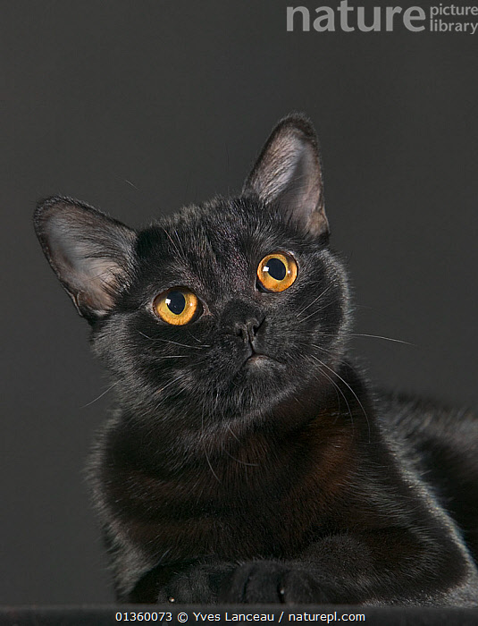 Domestic cat, Bombay female, 6 months, head portrait., BLACK,CATS,CLOSE UPS,CUTOUT,EYES,FELIDAE,FEMALES,HEADS,INDOORS,MAMMALS,PETS,PORTRAITS,STUDIO,VERTEBRATES,VERTICAL,YELLOW, Yves Lanceau