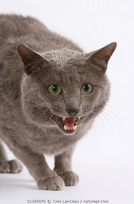 Domestic cat, Russian blue, male, 8 years, head portrait with mouth open snarling., ANGRY,BEHAVIOUR,CATS,CLOSE UPS,CUTOUT,FELIDAE,GROWLING,HEADS,INDOORS,MALES,MAMMALS,MOUTHS,PETS,PORTRAITS,STUDIO,TEETH,VERTEBRATES,VERTICAL,VOCALISATION, Yves Lanceau
