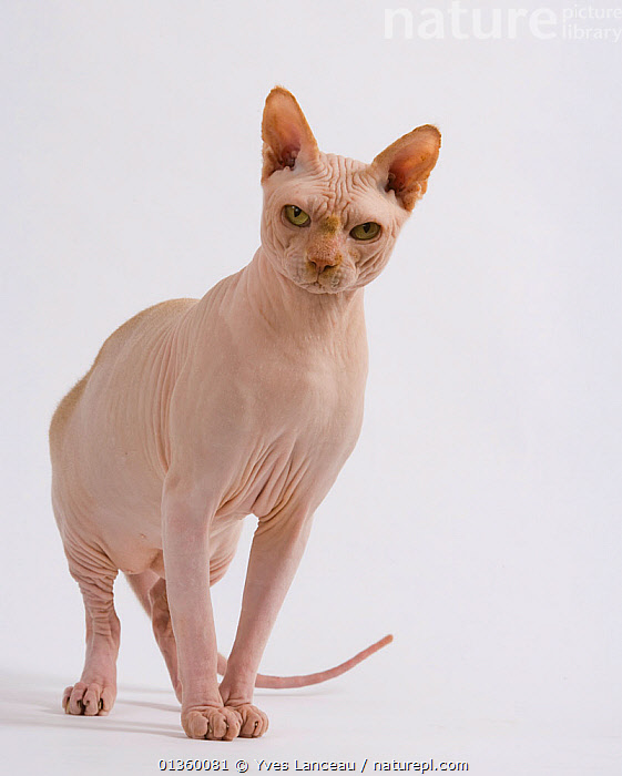 Domestic cat, Sphynx, male, 2 years, standing portrait., BALD,CATS,CUTOUT,EARS,FELIDAE,HAIRLESS,INDOORS,MALES,MAMMALS,PEDIGREE,PETS,PORTRAITS,SKIN,STANDING,STUDIO,VERTEBRATES,WRINKLES,Catalogue5, Yves Lanceau