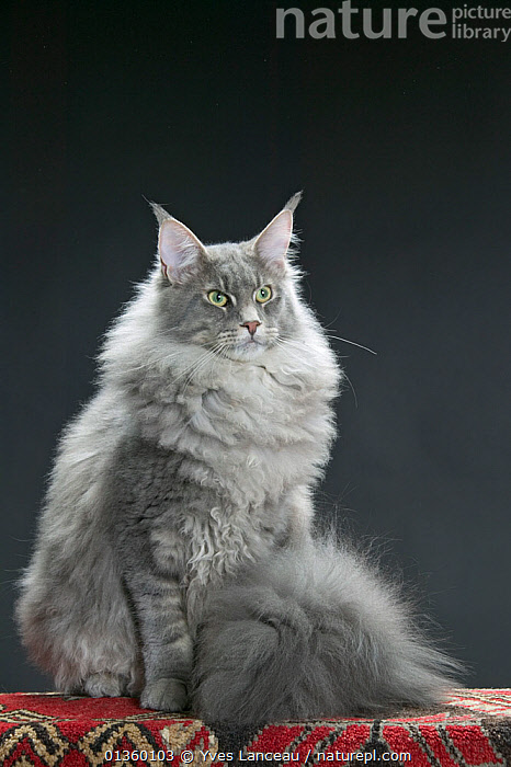 Domestic cat, Maine coon / Shag, male, 9 month, sitting portrait., BLOTCHED,BLUE,CATS,COPYSPACE,CUTOUT,FELIDAE,FLUFFY,GREY,INDOORS,MALES,MAMMALS,PETS,PORTRAITS,SITTING,STUDIO,VERTEBRATES,VERTICAL,WHITE, Yves Lanceau