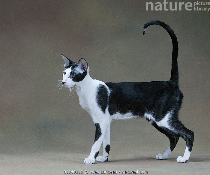 Domestic cat, Siamese / Royal cat of Siam, black and white male, standing profile with tail up., BLACK,CATS,CUTOUT,FELIDAE,INDOORS,MALES,MAMMALS,PETS,PORTRAITS,PROFILE,STANDING,STUDIO,TAILS,VERTEBRATES,WHITE, Yves Lanceau