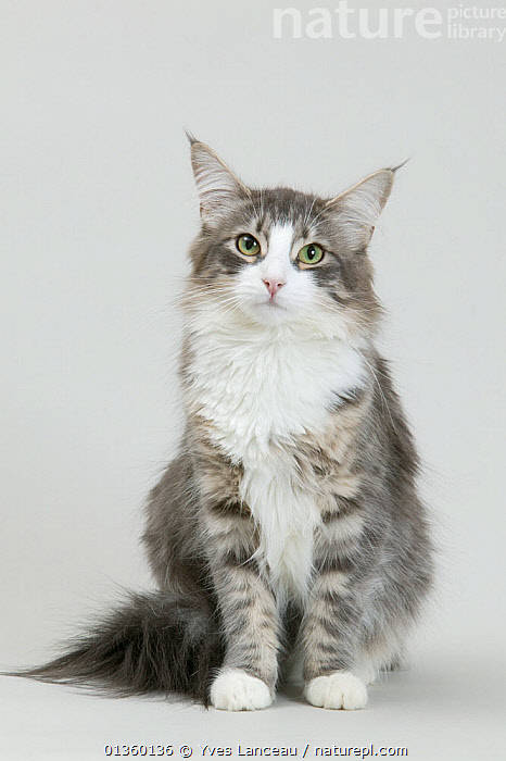 Domestic cat, Norwegian Forest / Skogkatt / Skaukatt / Weegie, longhaired blue spotted and white female cat, 1 year, sitting portrait., BROWN,CATS,CUTE,CUTOUT,FELIDAE,FEMALES,FLUFFY,INDOORS,LONGHAIR,LOOKING AT CAMERA,MAMMALS,PETS,PORTRAITS,SITTING,SPOTTED,STUDIO,VERTEBRATES,VERTICAL,WHITE, Yves Lanceau