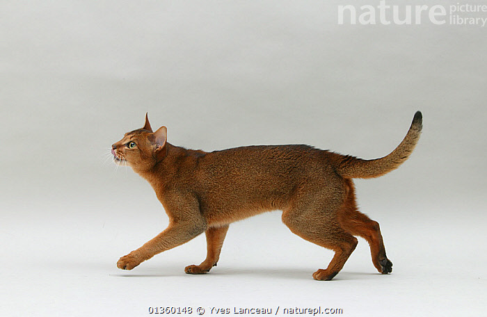 Domestic cat, Abyssinian, ruddy male, 18 month walking and looking up., BEHAVIOUR,CATS,CUTOUT,FELIDAE,INDOORS,JUVENILE,MALES,MAMMALS,PETS,PORTRAITS,PROFILE,STANDING,STUDIO,VERTEBRATES,WALKING,YOUNG, Yves Lanceau
