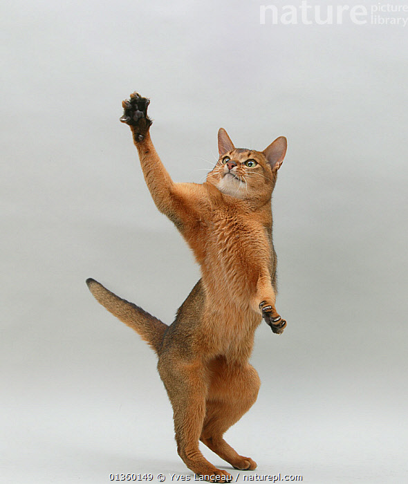 Domestic cat, Abyssinian, ruddy male, 18 month with standing on back legs reaching up., BEHAVIOUR,CATS,CLAWS,CUTE,CUTOUT,FELIDAE,INDOORS,JUVENILE,MALES,MAMMALS,PETS,PLAY,PLAYING,PORTRAITS,STANDING,STUDIO,VERTEBRATES,VERTICAL,YOUNG,Communication, Yves Lanceau