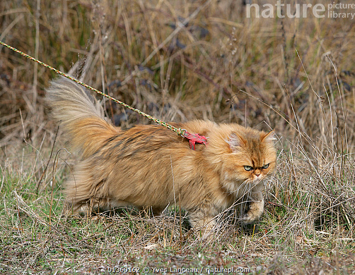 Domestic cat, longhaired Persian, golden male, 5 years, outdoors on a lead., BEHAVIOUR,CATS,CUTOUT,FELIDAE,FLUFFY,LEASH,MALES,MAMMALS,OUTDOORS,PET CARE,PETS,PORTRAITS,PROFILE,STANDING,STUDIO,TRAINING,VERTEBRATES,WALKING, Yves Lanceau
