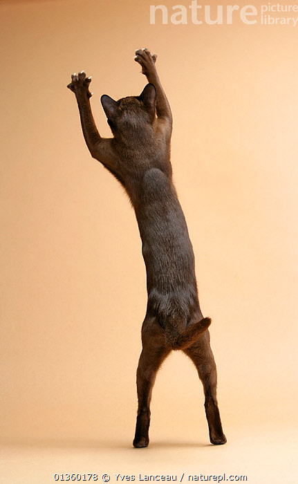 Domestic cat, American Burmese, chocolate female, 1 year, view from behind, stretching up.  ,  BEHAVIOUR,CATS,CLAWS,CUTOUT,FELIDAE,FEMALES,INDOORS,MAMMALS,PETS,PLAY,PLAYING,PORTRAITS,STANDING,STRETCHING,STUDIO,VERTEBRATES,VERTICAL,Communication,Catalogue5  ,  Yves Lanceau