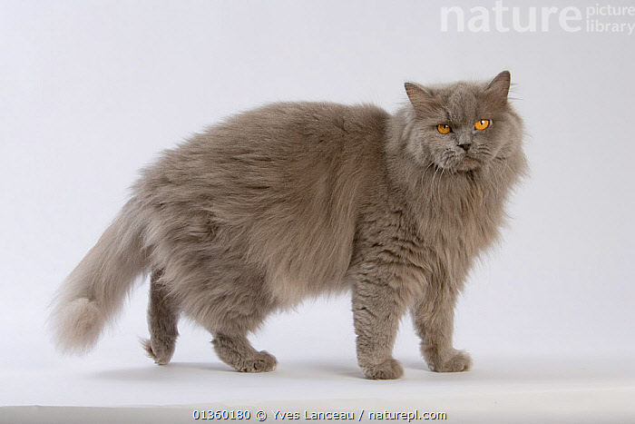Domestic cat, British longhaired female, 4 years, blue, standing profile., CATS,CUTOUT,EYES,FELIDAE,FEMALES,FLUFFY,GREY,INDOORS,LOOKING AT CAMERA,MAMMALS,ORANGE,PETS,PORTRAITS,PROFILE,STANDING,STUDIO,VERTEBRATES, Yves Lanceau