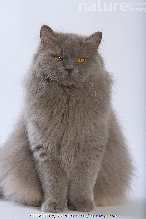 Domestic cat, British longhaired female, 4 years, blue, sitting portrait., CATS,CUTOUT,EYES,FELIDAE,FEMALES,FLUFFY,GREY,INDOORS,MAMMALS,ORANGE,PETS,PORTRAITS,PROFILE,SITTING,STANDING,STUDIO,VERTEBRATES,VERTICAL, Yves Lanceau