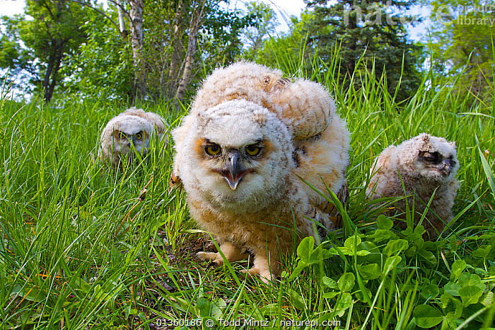 Great Horned owlets (Bubo virginianus) three on ground, Regina, Saskatchewan, Canada, June, BABIES,BIRDS,BIRDS OF PREY,CANADA,CHICKS,DOWNY,FEATHERS,GROUND,JUVENILE,NORTH AMERICA,OWLS,SIBLINGS,THREE,VERTEBRATES,YOUNG,Raptor, Todd Mintz