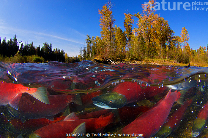 Sockeye salmon (Oncorhynchus nerka) split level view of annual spawning run, Adams River, British Columbia, Canada, October  ,  Adams River,annual,BRITISH COLUMBIA,CANADA,catalogue4,close up,FISH,FRESHWATER,GROUPS,HABITAT,large group of animals,MARINE,mass,mating behaviour,MIGRATION,Nobody,north america,on the move,OSTEICHTHYES,REPRODUCTION,river,RIVERS,SALMON,spawning,split level,SPLIT LEVEL,TEMPERATE,TREES,UNDERWATER,VERTEBRATES,view to land,water level,WILDLIFE,woodland,PLANTS  ,  Todd Mintz