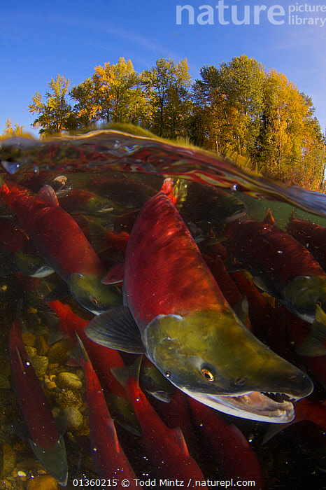 Sockeye salmon (Oncorhynchus nerka) split level view of annual spawning run, Adams River, British Columbia, Canada, October  ,  Adams River,annual,BRITISH COLUMBIA,CANADA,catalogue4,close up,FISH,FRESHWATER,GROUPS,MARINE,mass,mating behaviour,medium group of animals,MIGRATION,Nobody,north america,on the move,open mouth,OSTEICHTHYES,PORTRAITS,REPRODUCTION,river,RIVERS,SALMON,spawning,SPLIT LEVEL,SURFACE,TEMPERATE,TREES,UNDERWATER,VERTEBRATES,VERTICAL,WATER,WILDLIFE,PLANTS  ,  Todd Mintz