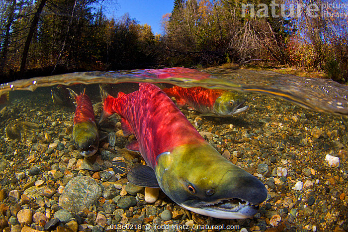 Sockeye salmon (Oncorhynchus nerka) split level view of salmon on river bed, annual spawning run, Adams River, British Columbia, Canada, October  ,  ANNUAL,BRITISH COLUMBIA,CANADA,FISH,FRESHWATER,GROUPS,HABITAT,MARINE,MASS,MATING BEHAVIOUR,MIGRATION,NORTH AMERICA,OSTEICHTHYES,PORTRAITS,REPRODUCTION,RESTING,RIVERBED,RIVERS,SALMON,SPLIT LEVEL,SURFACE,TEMPERATE,TREES,UNDERWATER,VERTEBRATES,PLANTS  ,  Todd Mintz