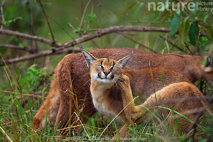 Caracal (Caracal caracal) two six months kittens, one scratching, Masai Mara National Reserve, Kenya, August, AFRICA,BEHAVIOUR,CARNIVORES,CATS,EAST AFRICA,FELIDAE,FELIS CARACAL,GROOMING,JUVENILE,MAMMALS,RESERVE,SCRATCHING,TWO,VERTEBRATES, Anup Shah