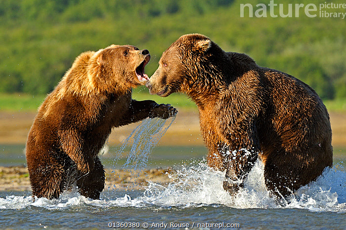 Two Grizzly bears (Ursus arctos horribilis) male (right) and female fighting over salmon, Katmai NP, Alaska, USA, August, ACTION,AGGRESSION,ALASKA,BEAR,BEARS,BEHAVIOUR,BROWN BEAR,CARNIVORES,FEEDING,FIGHTING,FISH,FISHING,MAMMALS,NP,RIVERS,URSIDAE,USA,VERTEBRATES,WATER,National Park,North America, Andy Rouse